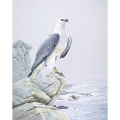 White Breasted Sea Eagle