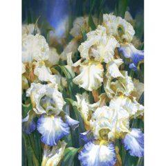Iris Glade